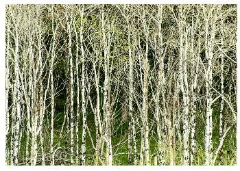 Лечебные свойства коры осины в онкологии
